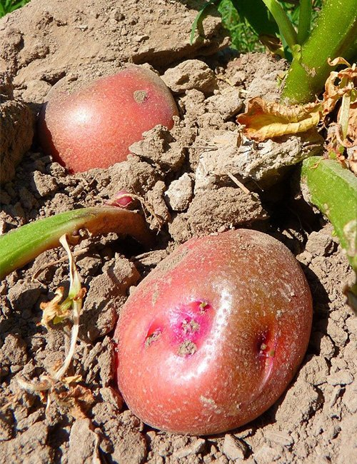 Red Potatoes.
